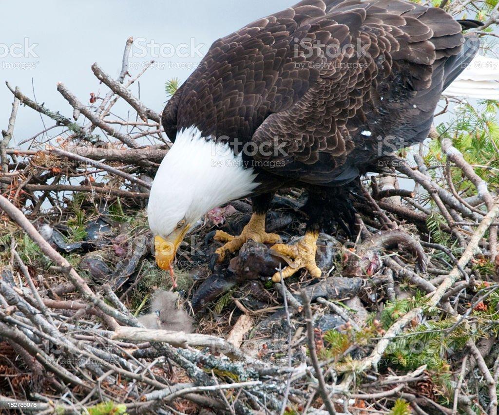 Bald Eagle Feeding 2 Chicks - One Week Old stock photo