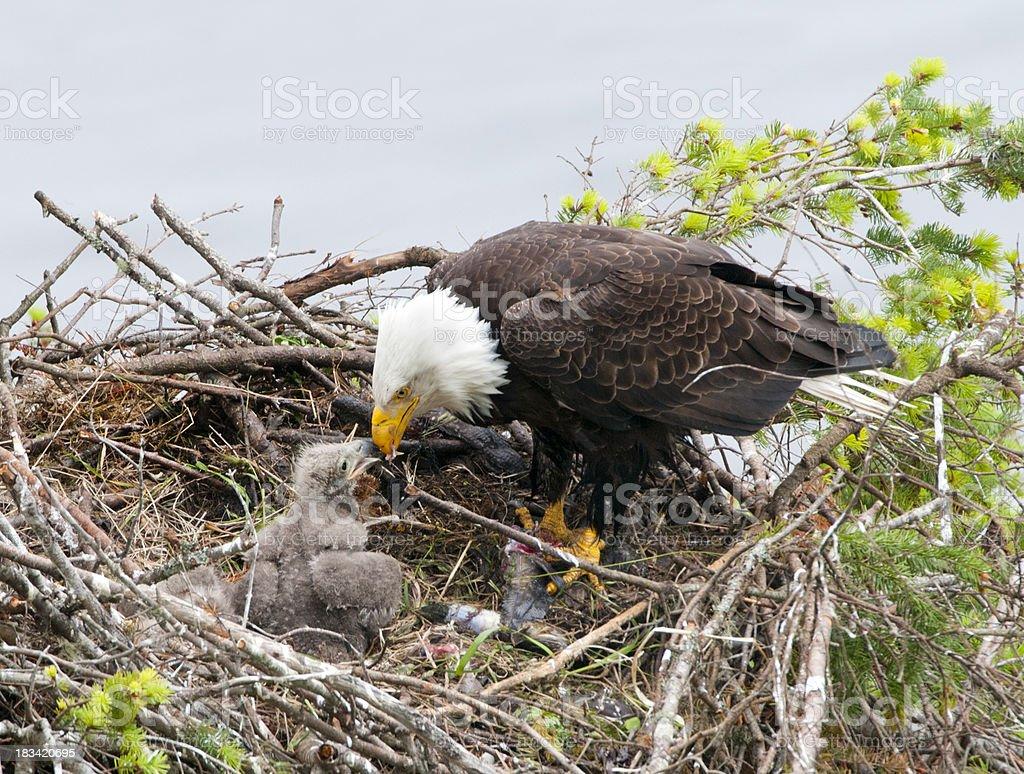 Bald Eagle Feeding Chick in Nest stock photo