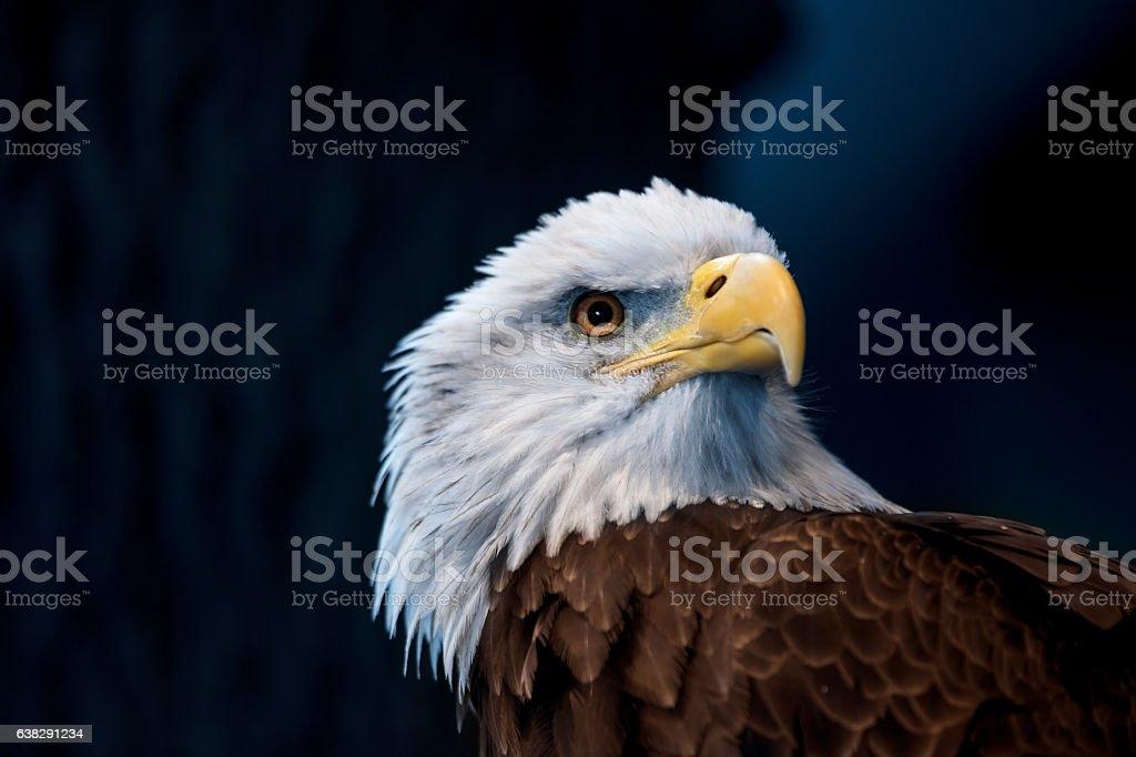 Bald Eagle Female stock photo