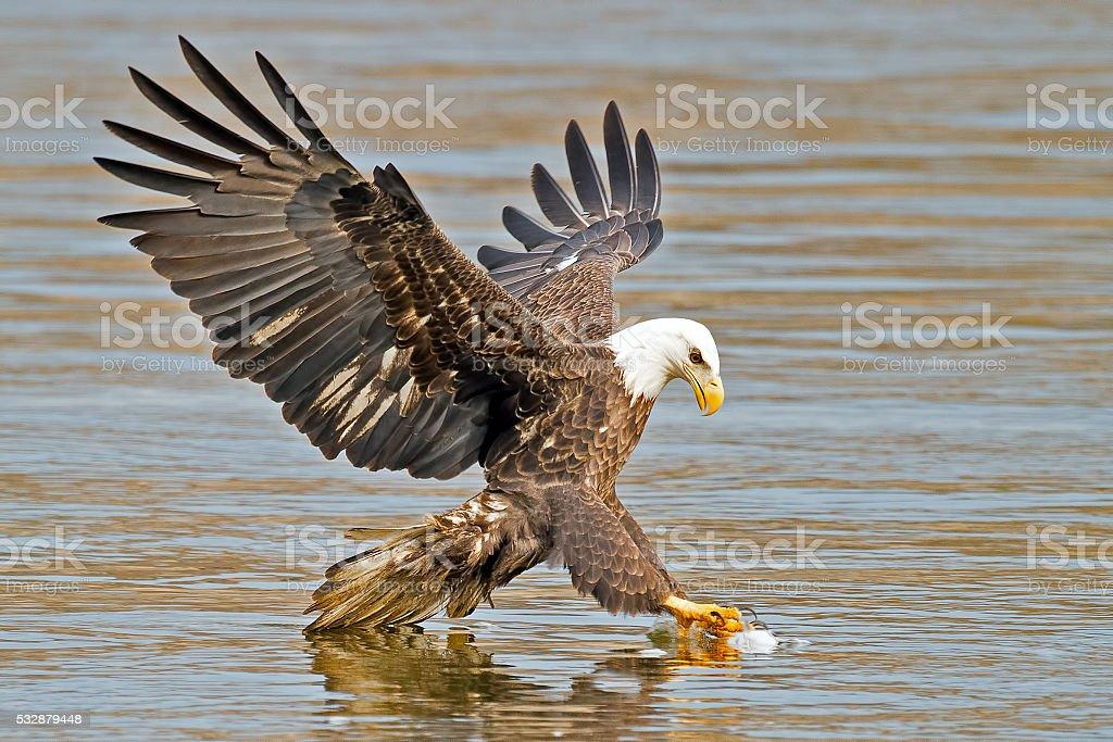Bald Eagle Fish Grab stock photo