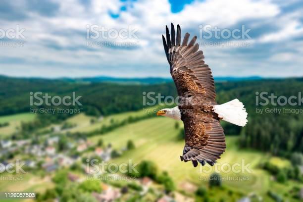 Ein weikopfseeadler fliegt in groer hhe am himmel und sucht beute es picture id1126057503?b=1&k=6&m=1126057503&s=612x612&h=3iakqrbk74ltumtmiente5bc2mv1b6mp i0omfx5bzg=