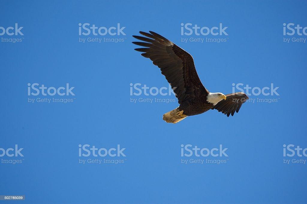 Weißkopfseeadler Flug – Foto
