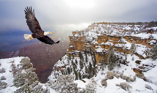 Bald eagle flying above grand canyon in the winter