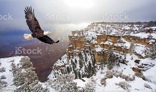 Bald eagle flying above grand canyon picture id470848622?b=1&k=6&m=470848622&s=612x612&h=73tyel5mucua 2lgofk6uiobbg1 78ryo9grvtwj0zq=