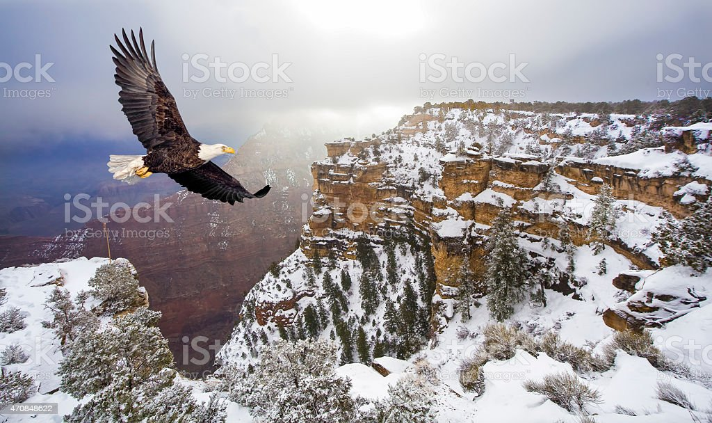 Bald eagle flying above grand canyon stock photo