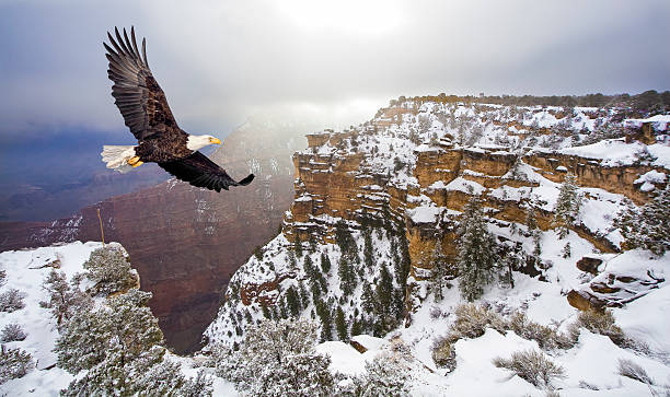 bald eagle flying above grand canyon - eagle stock photos and pictures