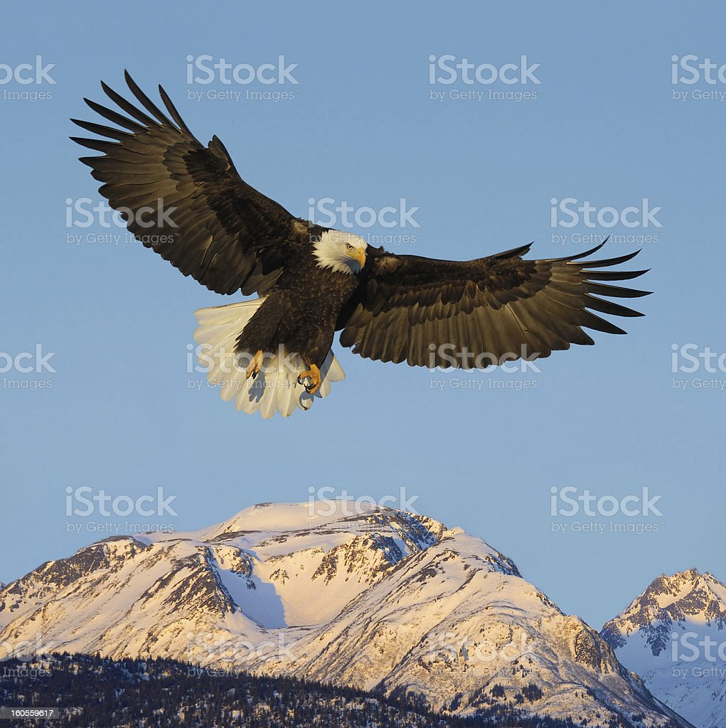 A bald eagle flying above the mountains stock photo