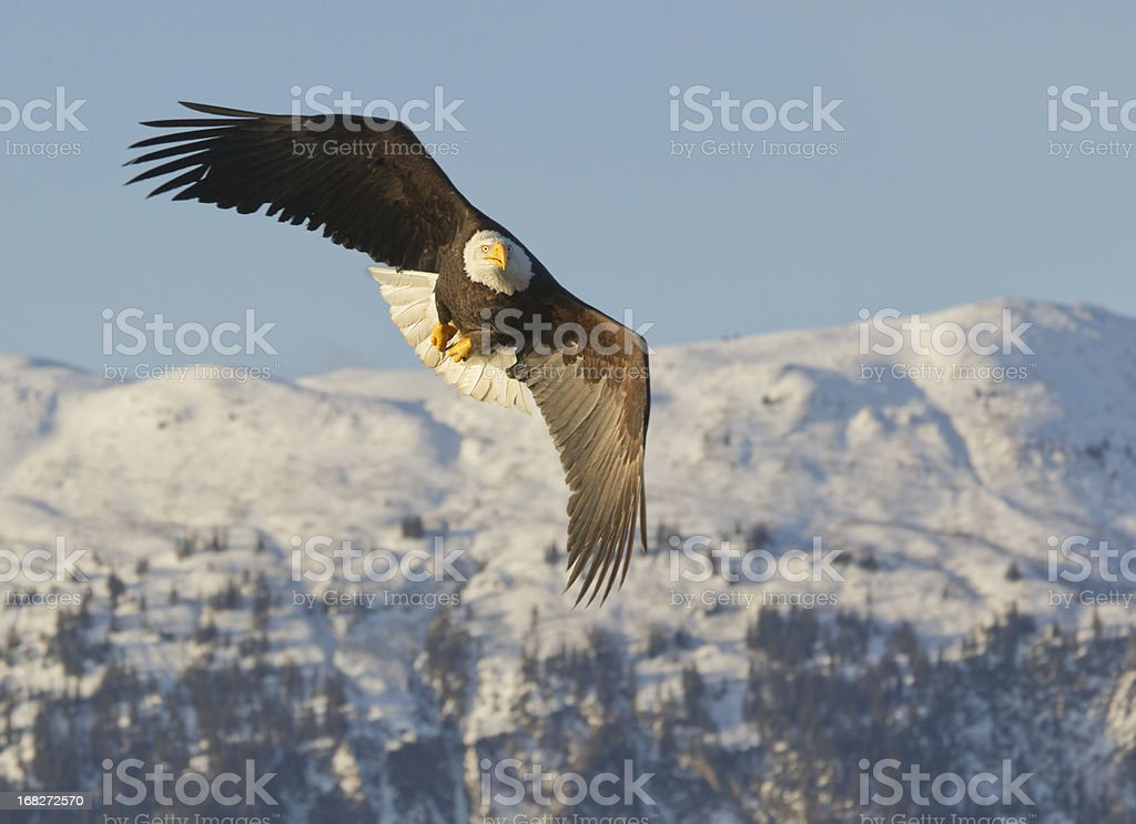 Bald Eagle flying and blue sky with snow covered mountain background