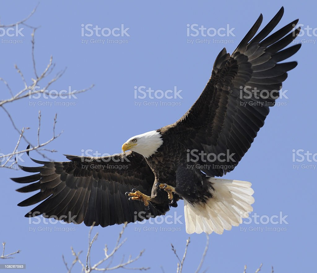 Bald Eagle Flying Free, Wings Spread; Leadership, Freedom, Strength stock photo