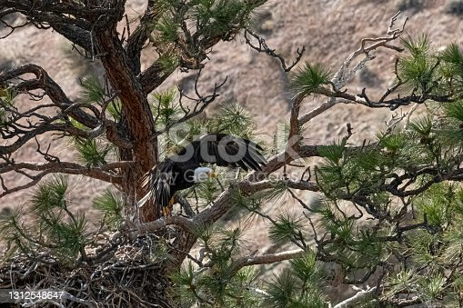 istock Bald Eagle flying from the nest at Smith Rock State Park in Oregon 1312548647
