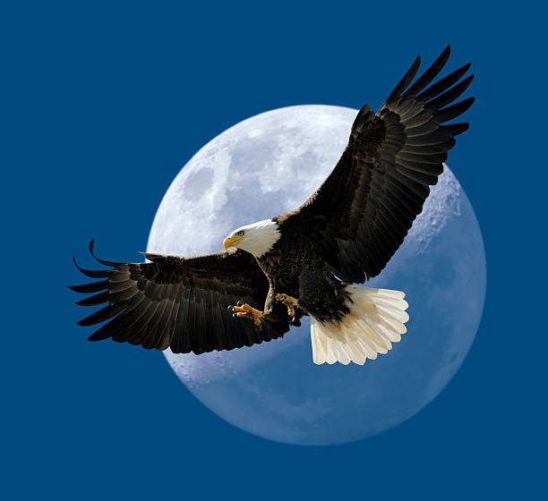 Bald Eagle Flying In Front of Moon, Wings Spread stock photo