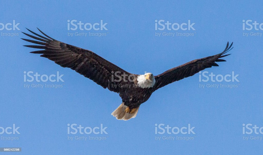 Bald Eagle flying in sky stock photo