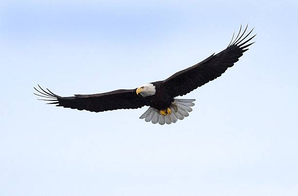 bald eagle flying isolated in alaska - eagle stock photos and pictures
