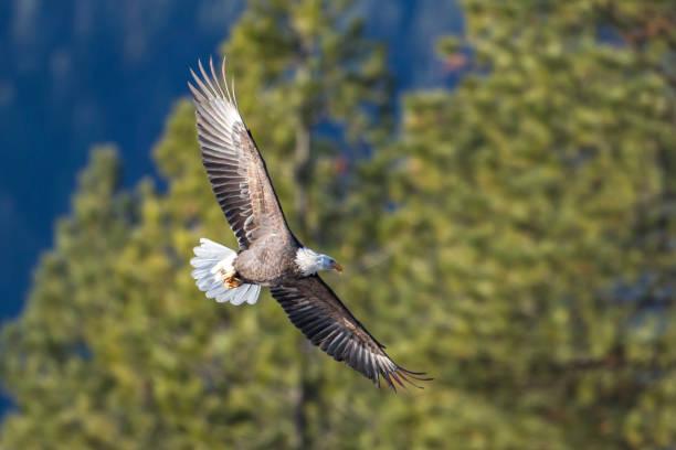 Bald eagle flying near the trees. stock photo
