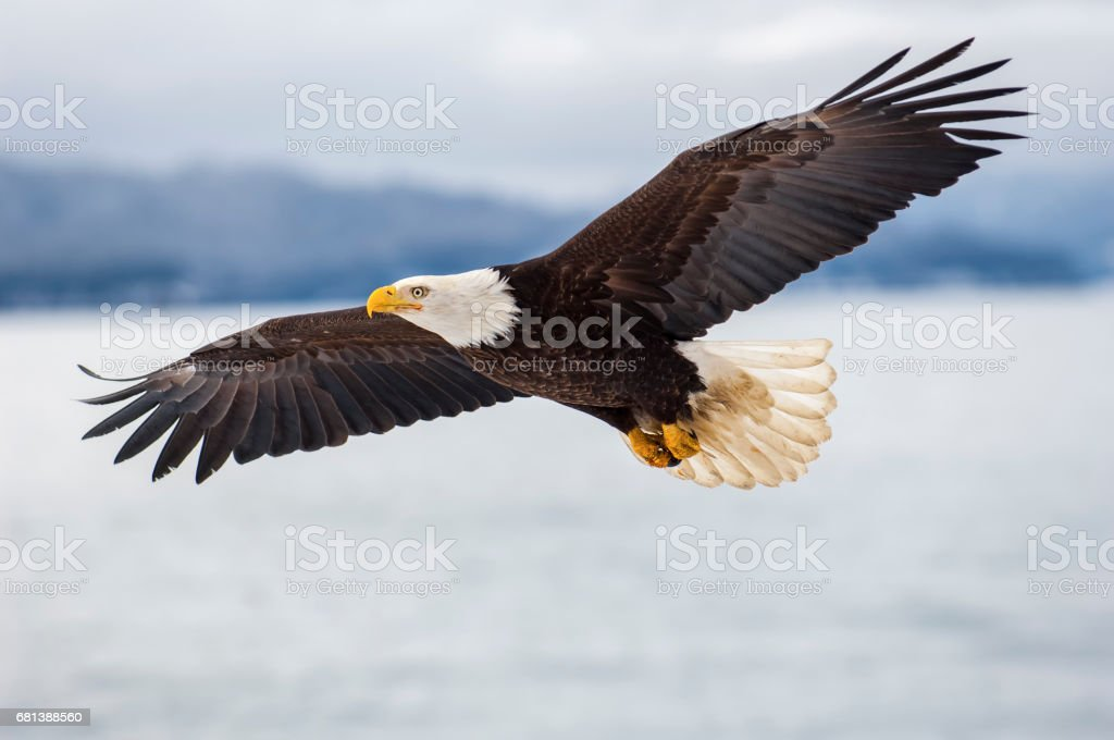 Bald eagle flying over icy waters stock photo