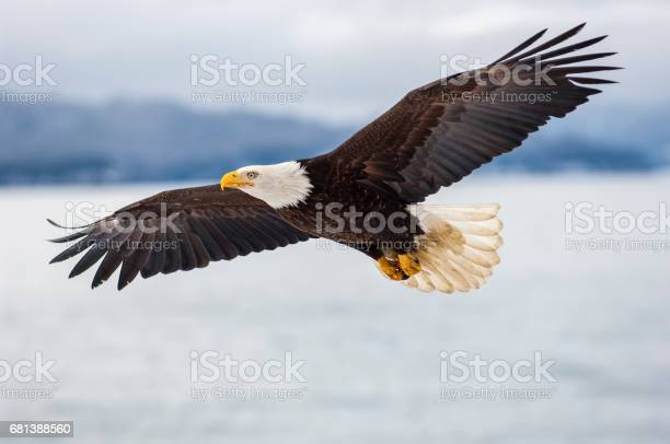 Photo of Bald eagle flying over icy waters