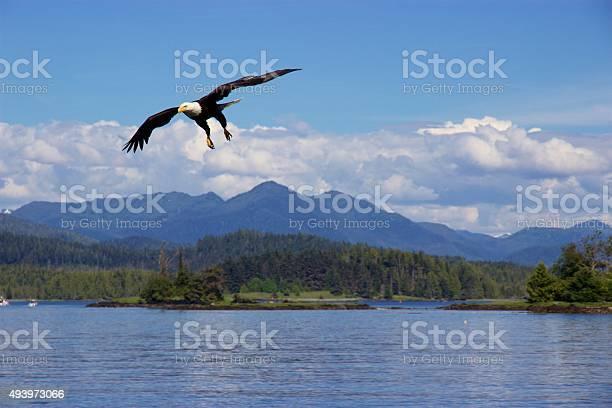 Bald eagle flying over pacific ocean near prince rupert canada picture id493973066?b=1&k=6&m=493973066&s=612x612&h=dapi0fdaplys0xkw8munxhfcepplr0fdzoc9g3yborg=