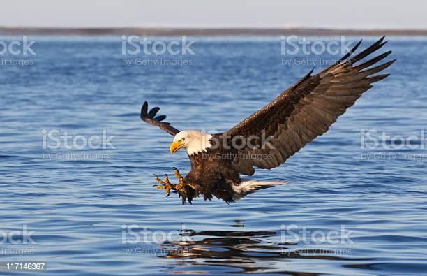 Bald eagle flying picture id117146367?b=1&k=6&m=117146367&s=612x612&h=f1hd6ni szlosjn0qaonovo lvhjid3fzssjudtbr5w=