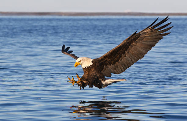 bald eagle flying - eagle stock photos and pictures