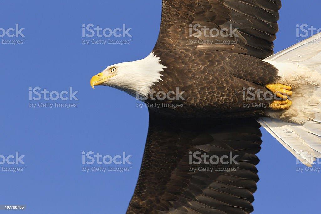Bald Eagle flying and blue sky