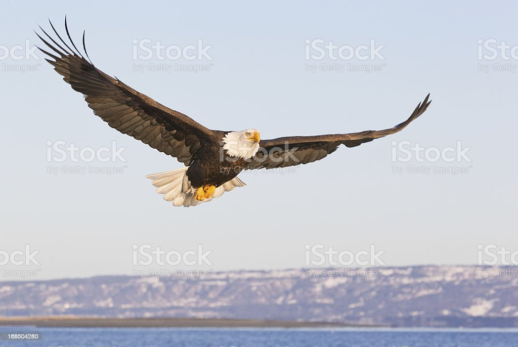 Bald Eagle flying and winter mountains