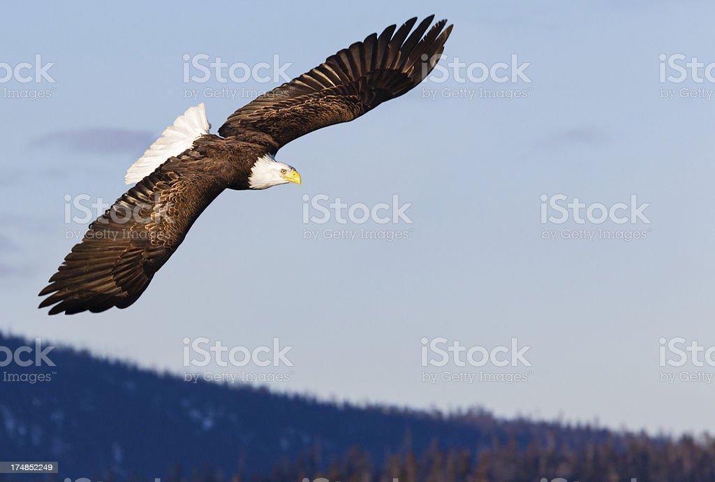 Bald Eagle Flying Haliaeetus leucocephalus Alaska