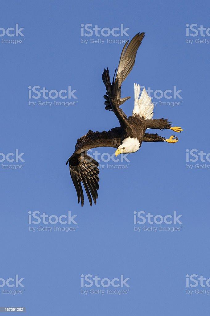 Bald Eagle Flying Diving