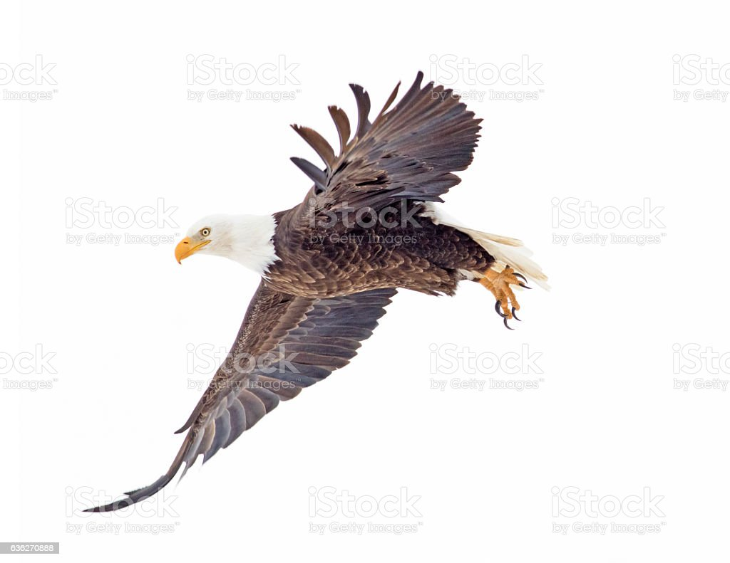 Pygargue à tête blanche volant - Photo