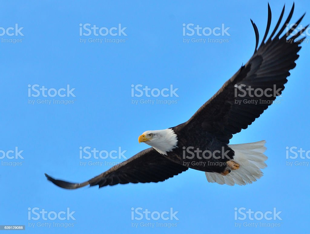 Bald Eagle in volo - foto stock
