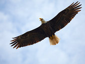 """Bald Eagle Flying Up-Close, Full Wingspan, Majestic, Strong, Blue Sky;  This is a very detailed close-up on the proud Bald Eagle with copy space both top and bottom."""