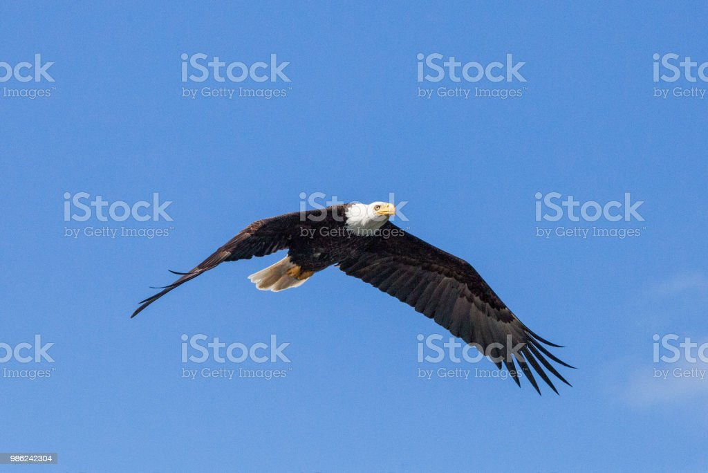 Bald Eagle flying with blue sky stock photo