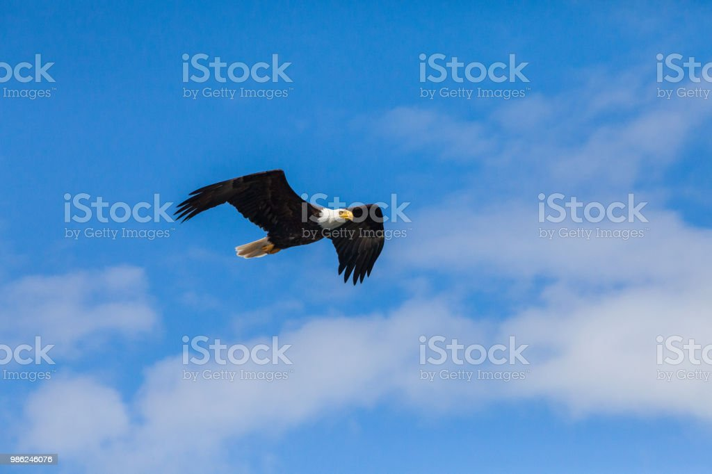 Bald Eagle flying with clouds stock photo