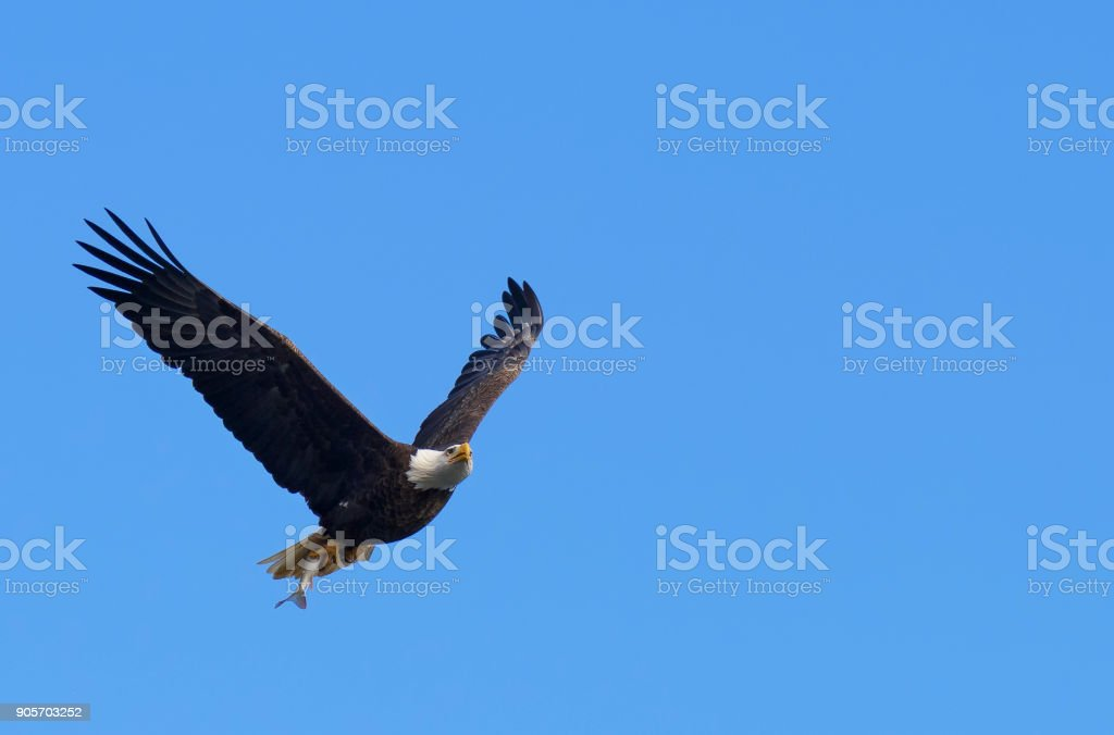 Beautiful bald eagle flying with freshly caught fish on sunny day...