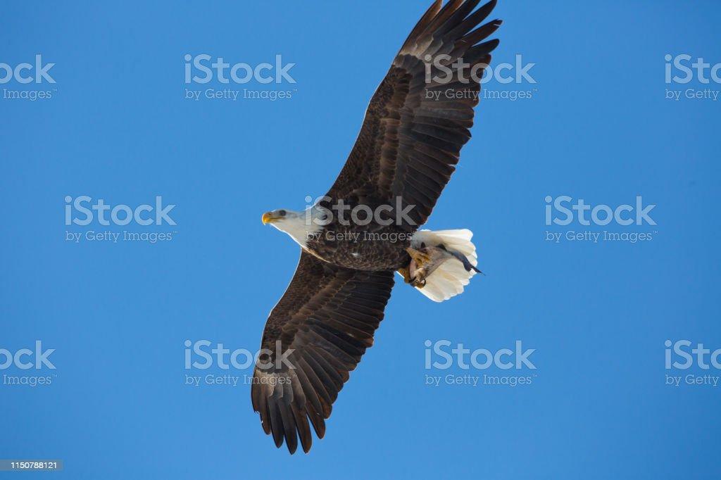Bald eagle flying with fish - Royalty-free Animal Wildlife Stock Photo