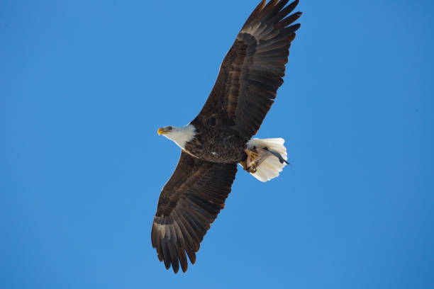Bald eagle flying with fish stock photo