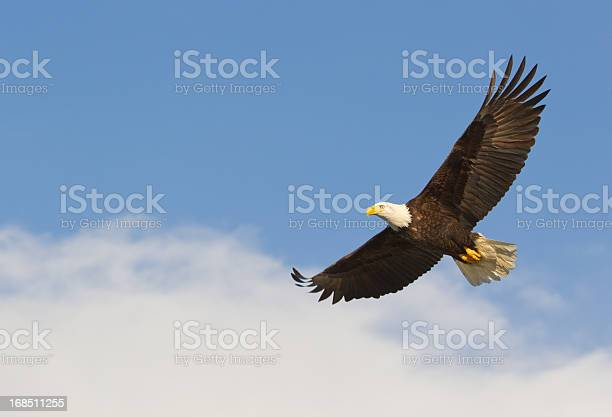Photo of Bald eagle gliding against blue sky and white wispy clouds