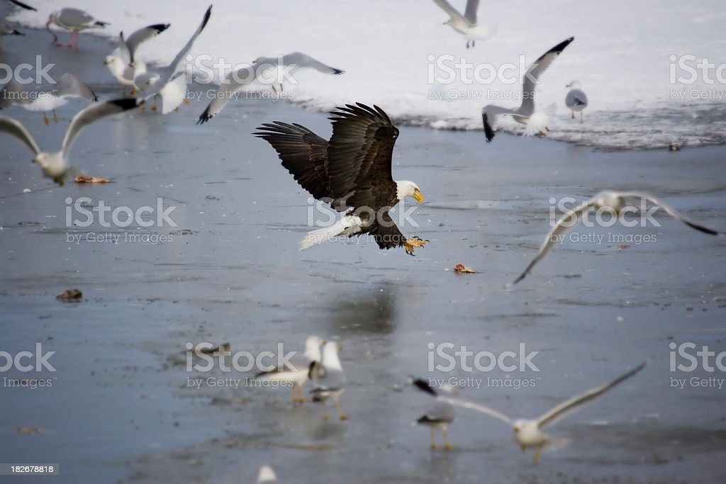 Bald Eagle Grabbing Fish on Ice royalty-free stock photo