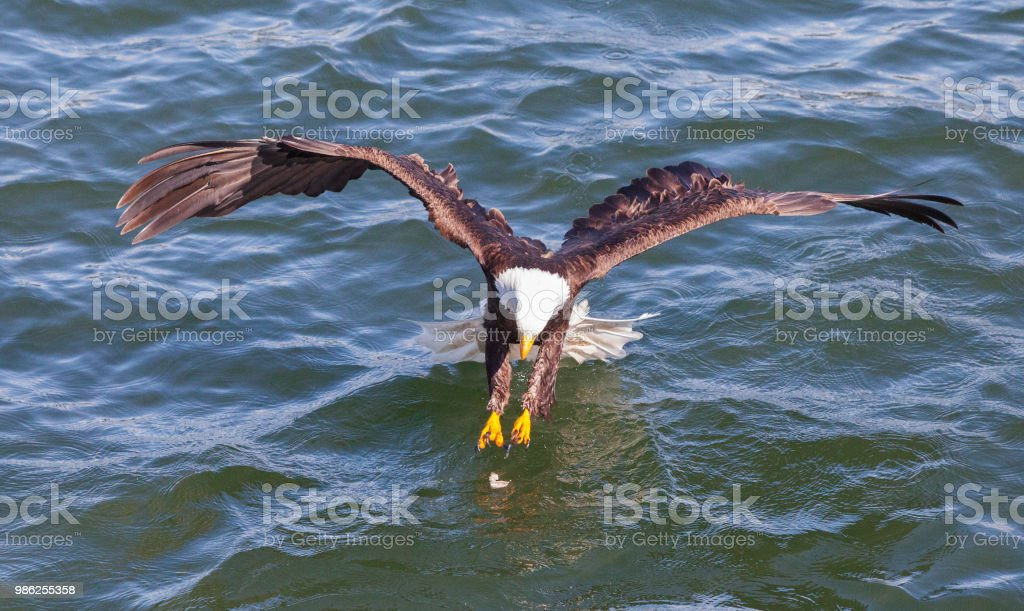 Bald Eagle grabbing prey out of water stock photo