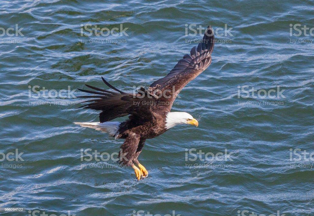 Bald Eagle grabbing prey stock photo