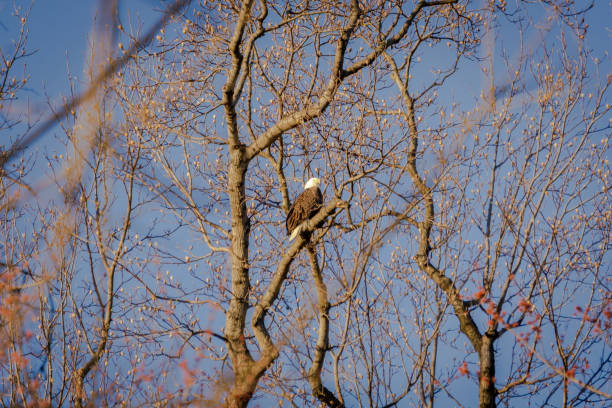 A Bald Eagle Guarding It's Nest stock photo