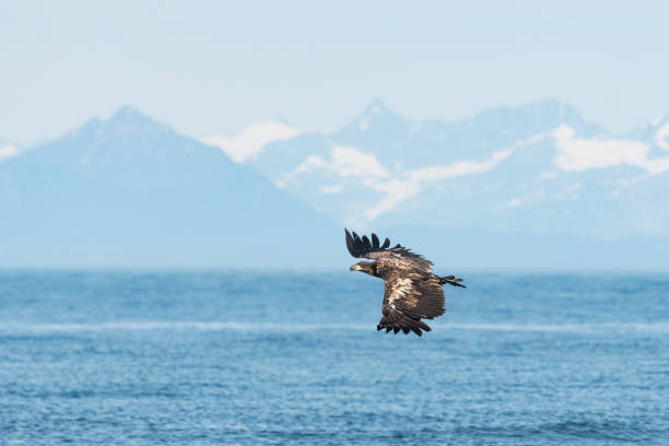 Bald eagle, haliaeetus leucocephalus, immature bird in front of mountain range in Alaska. National bird of the United States of America. stock photo