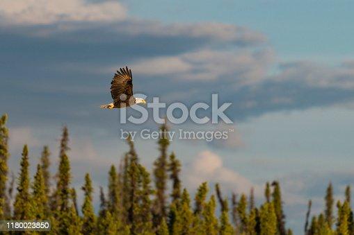 Bald eagle flying in wilderness area, Alaska.