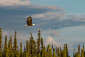 Bald eagle flying in wilderness area, Alaska.