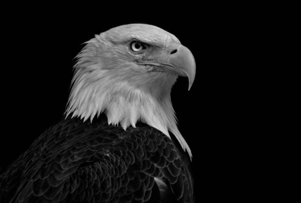 413 Black And White Eagle Stock Photos Pictures Royalty Free Images Istock