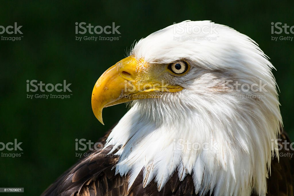 Bald eagle-Haliaeetus leucocephalus - foto stock