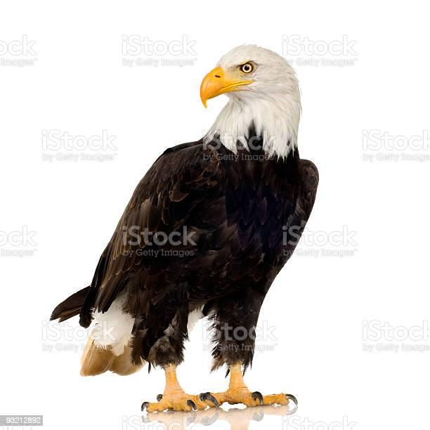 Bald eagle haliaeetus leucocephalus picture id93212892?b=1&k=6&m=93212892&s=612x612&h=8irms9rdqdojquqc4nqpldqwbkzo2hp gjuhbtefdwc=