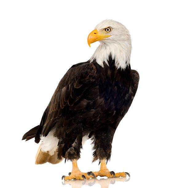 bald eagle (22 years) - haliaeetus leucocephalus - eagle stock photos and pictures