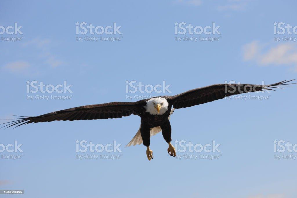 Bald Eagle Haliaeetus leucocephalus Soaring Spread Wings stock photo