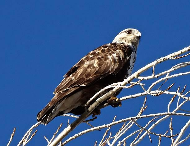 Bald Eagle Hawk stock photo