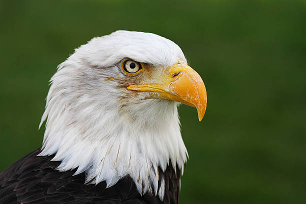 bald eagle (haliaeetus leucocephalus) head portrait (captive) - animals in captivity stock pictures, royalty-free photos & images